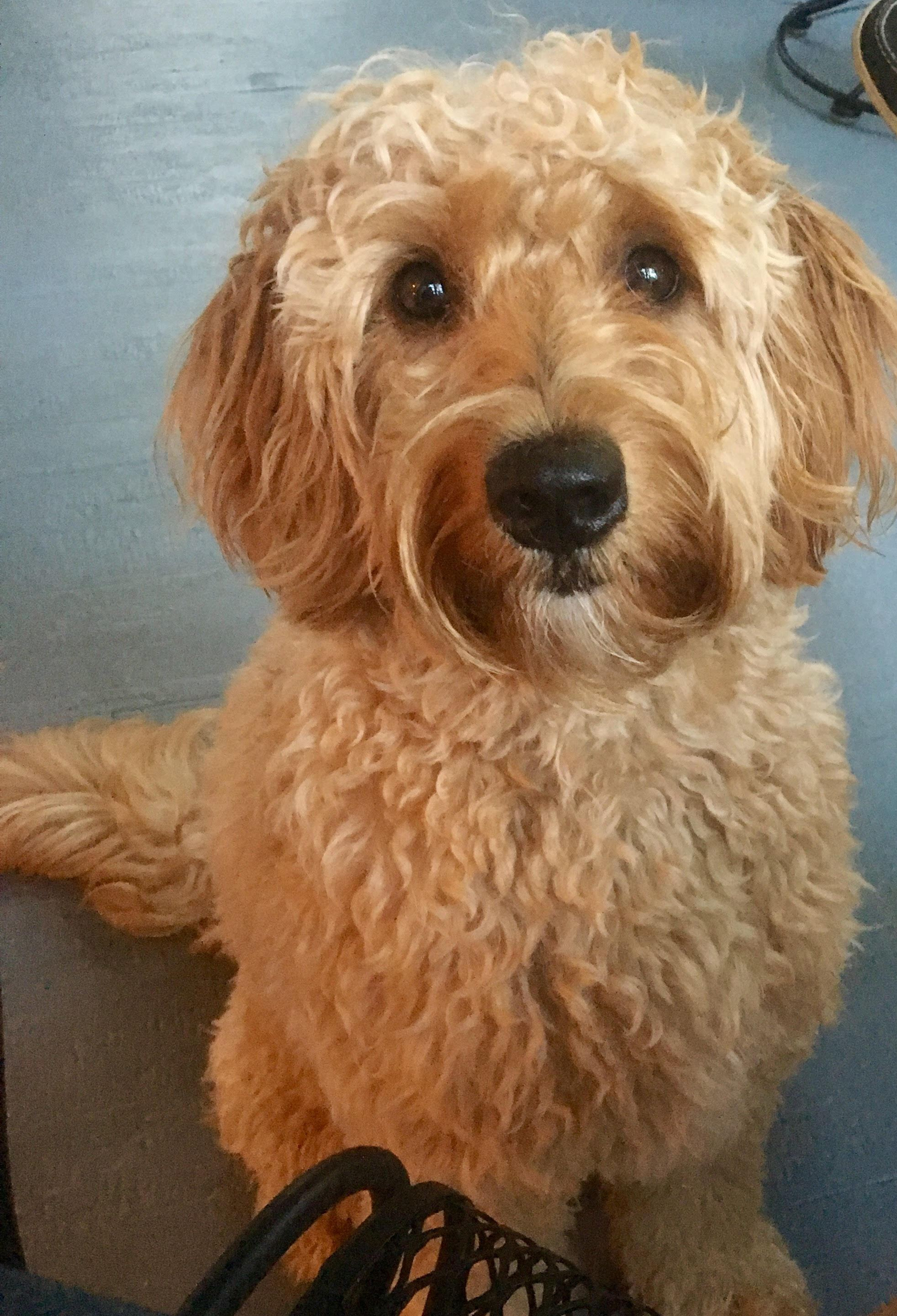Types And Sizes Waldens Golden Doodles